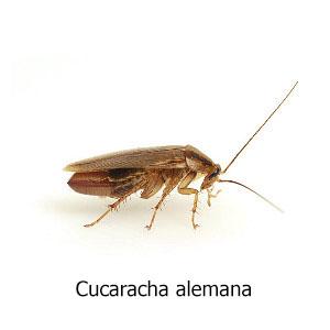 cucaracha-alemana titulo