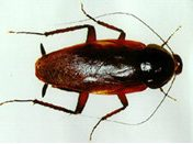 cucaracha-alemana2