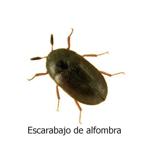 escarabajo-alfombra titulo
