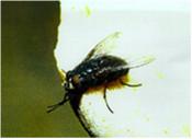mosca2