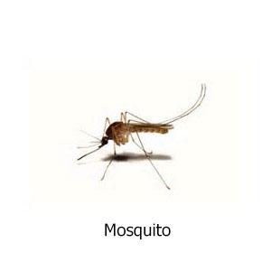 mosquito titulo