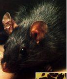 rata-negra2